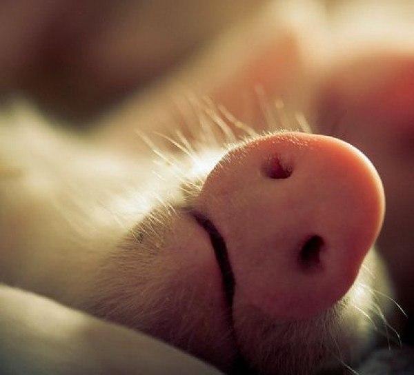 Удовольствие еды, смотреть смешные картинки сл спящими тремя поросятами