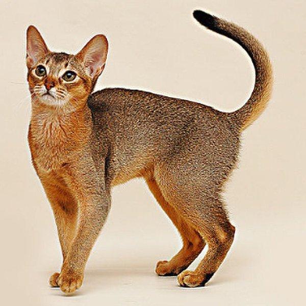 исправления неисправности абиссинские кошки европейский тип фото времена давно