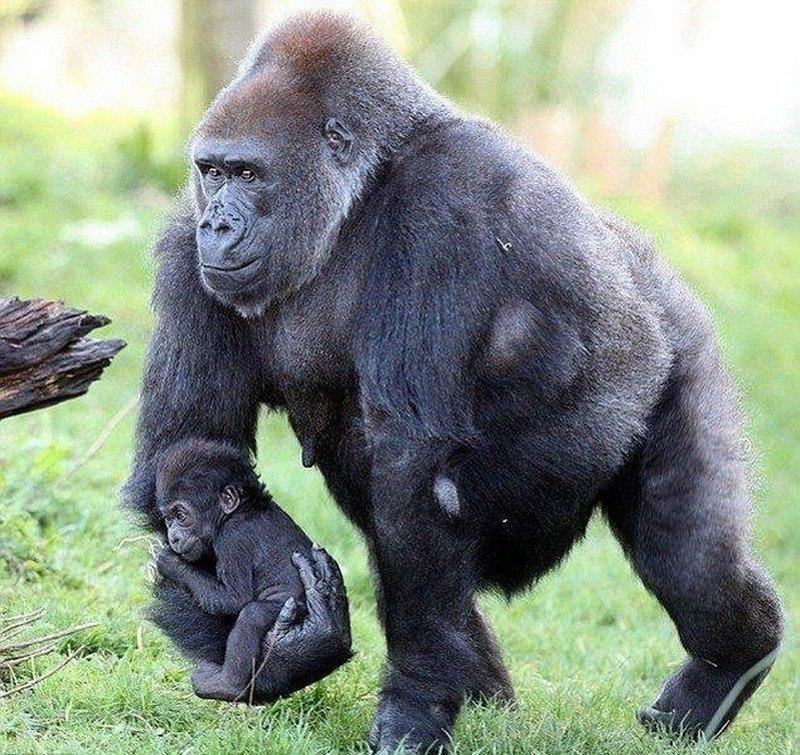природные картинки гориллы приколы базилике хранился резерв